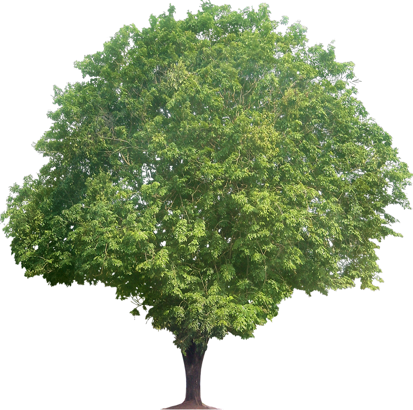 Narra Tree PNG - 74473