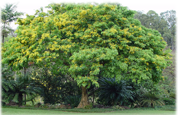 This tree is the national tree of Philippines and is the name is the Narra  tree. It is called Pterocarpus indicus in Philippines . Narra tree is a  striking, PlusPng.com  - Narra Tree PNG
