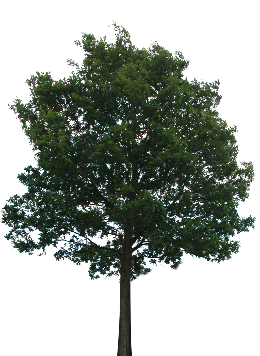. PlusPng.com Tree 1 (PNG With Transparency) By Bupaje - Narra Tree PNG