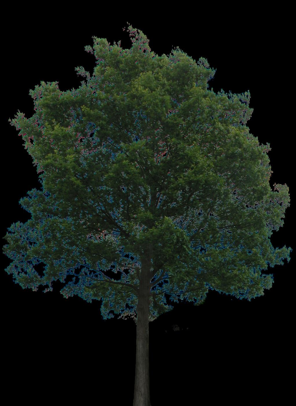 Narra Tree PNG - 74483