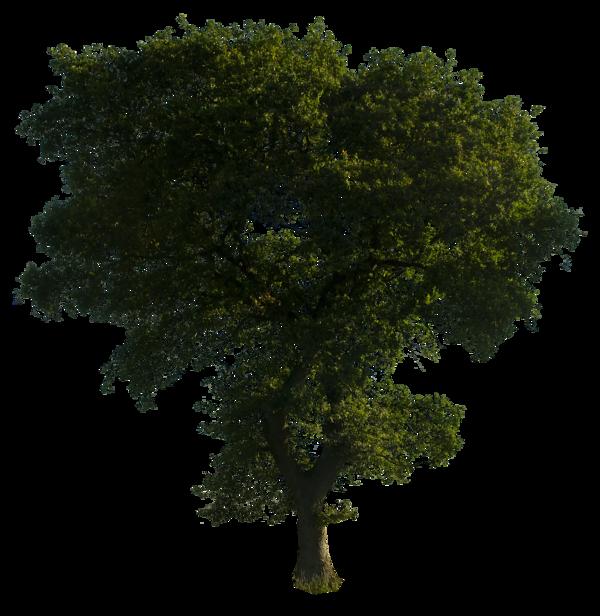 Narra Tree PNG - 74478