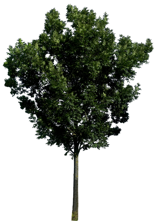 Tree 56 png HQ by gd08 PlusPng.com  - Narra Tree PNG