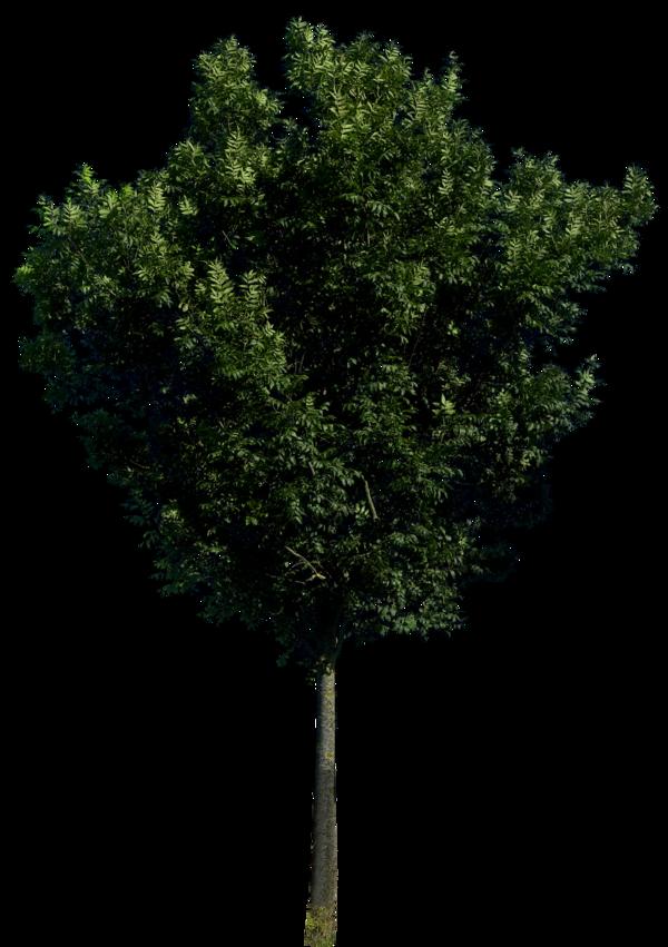 Tree 56 Png HQ By Gd08 PlusPng.com  - Narra Tree PNG