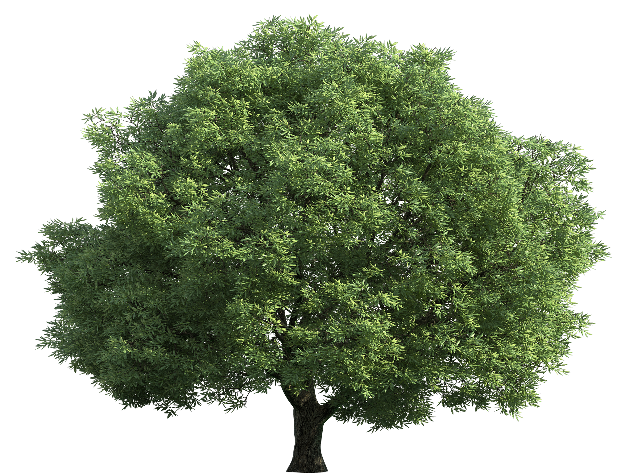 (view all Chestnut Tree Cliparts) - Narra Tree PNG