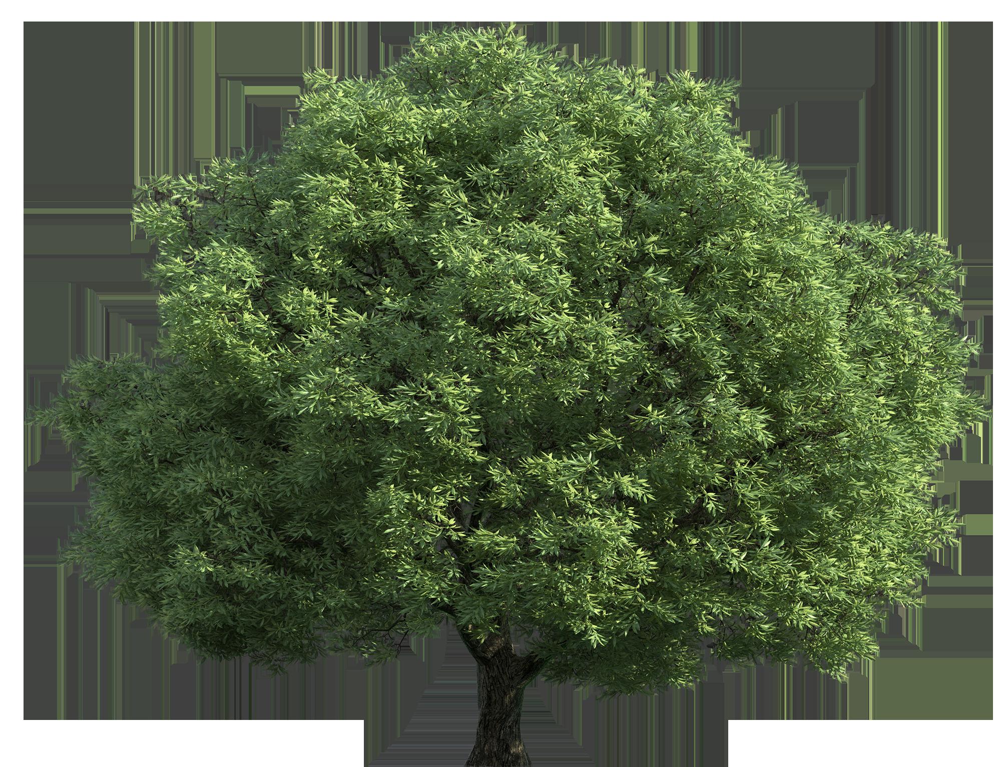 Narra Tree PNG - 74474