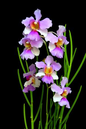 Papilionanthe Miss Joaquim - National Flower Of Singapore Vanda Miss Joaquim PNG