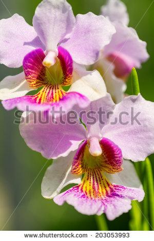 Pink Vanda Miss Joaquim orchid , national flower of Singapore, close up - National Flower Of Singapore Vanda Miss Joaquim PNG