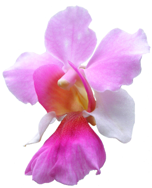 National Flower Of Singapore Vanda Miss Joaquim PNG