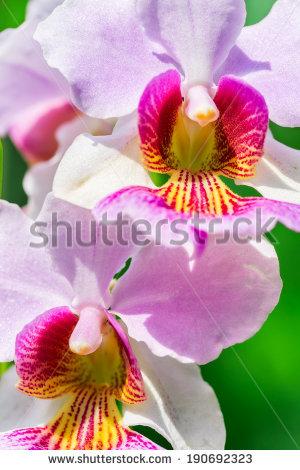 Vanda Miss Joaquim orchid , national flower of Singapore, close up - National Flower Of Singapore Vanda Miss Joaquim PNG