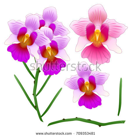 Vanda Miss Joaquim Orchid. Singapore National Flower. isolated on White  Background. Vector Illustration - National Flower Of Singapore Vanda Miss Joaquim PNG