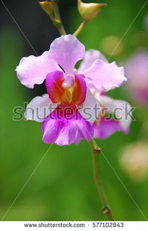 Vanda Miss Joaquim, The National Flower of Singapore - National Flower Of Singapore Vanda Miss Joaquim PNG