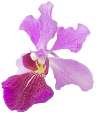 Vanda Miss Joaquim was selected as Singaporeu0027s National Flower. The choice  of an orchid as Singaporeu0027s national flower is most appropriate because  orchids PlusPng.com  - National Flower Of Singapore Vanda Miss Joaquim PNG