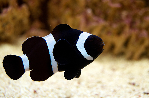 Nemo Fish PNG Black And White - 154368