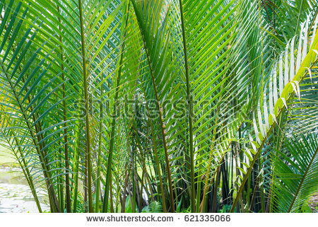 Nipa palm green leaves texture - Nipa Tree PNG