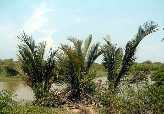 Nipa palm growing on bank of river - Nipa Tree PNG