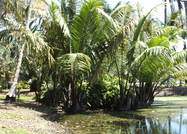 Nipa palm is a tropical plant. Its optimum climate is sub humid to humid. Nipa  palm thrives only in a brackish water environment. Itu0027s rarely seen  directly PlusPng.com  - Nipa Tree PNG