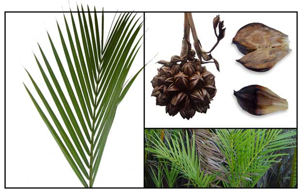 Nipa / SASA / Nipa fruticans Wurmb./ NIPA PALM : Philippine Medicinal Herbs  / Philippine Alternative Medicine - Nipa Tree PNG