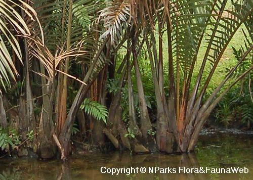 . PlusPng.com Nipah Palm,Mangrove Palm,Nipah,Attap,Water Coconut PlusPng.com  - Nipa Tree PNG