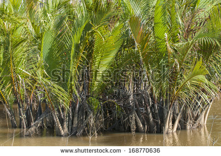Nypa fruticans, commonly known as the nipa palm, is a species of palm native - Nipa Tree PNG