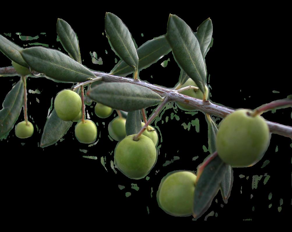 Olive PNG - 26793