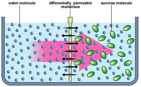 Osmosis makes plant cells swell. Water moves into the plant cell vacuole  and pushes against the cell wall. The cell wall stops the cell from  bursting We say PlusPng.com  - Osmosis PNG