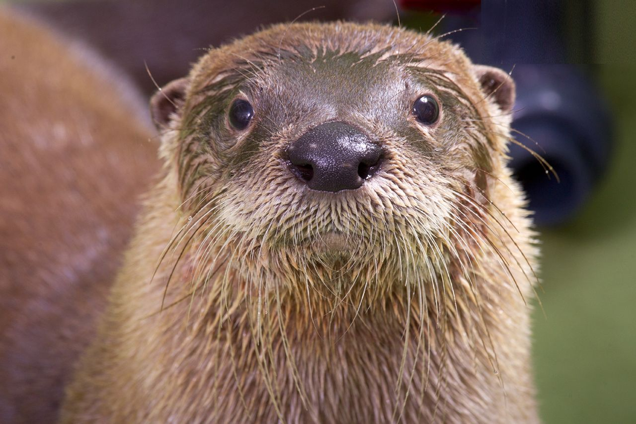 2354c1a.png - Otter PNG HD