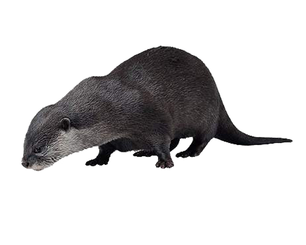 Otter PNG HD - Otter PNG HD