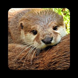 Otter Wallpaper HD - Otter PNG HD