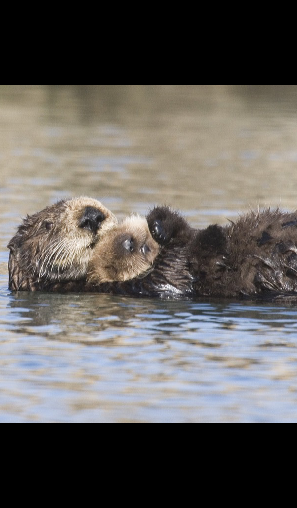 sea otter Wallpaper -- HD Wallpapers of sea otters! - Otter PNG HD