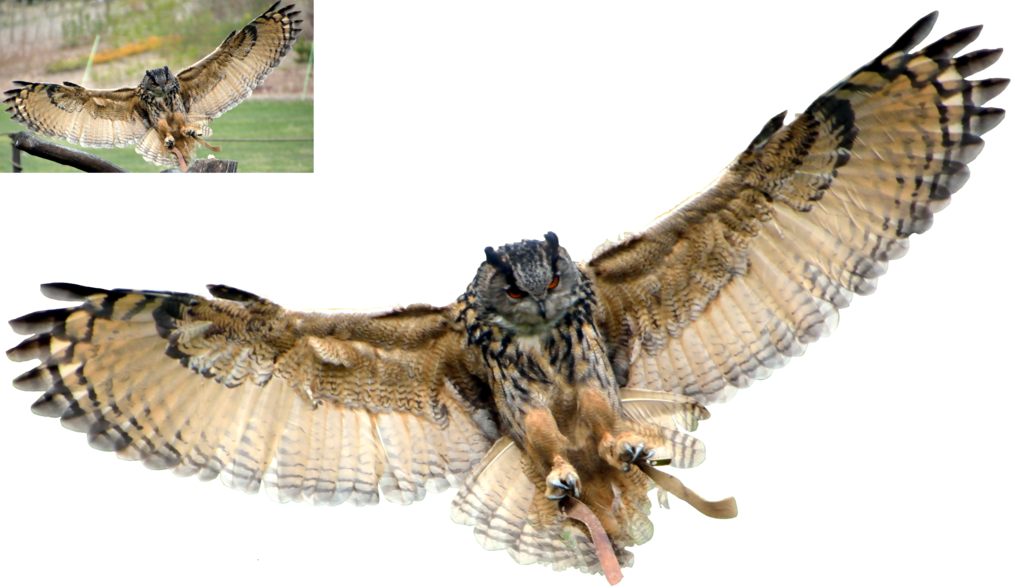 Eagle Owl Png by lumpi69 PlusPng.com  - Owl HD PNG