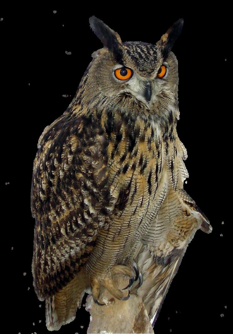 Owl HD PNG