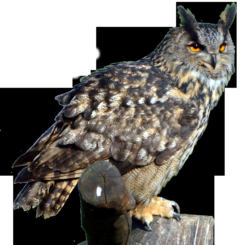 Owl Transparent PNG - Owl HD PNG