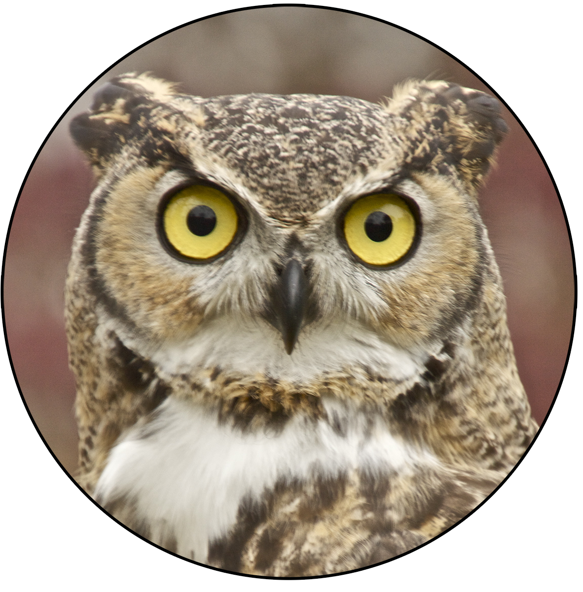 Owl PNG - 15901