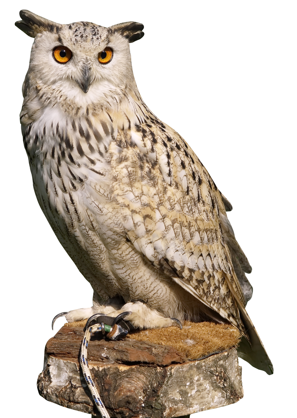 Owl PNG - 15889