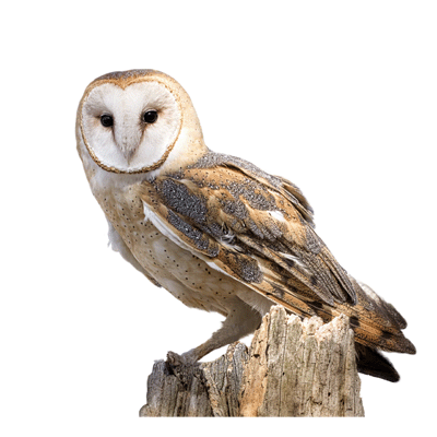 Owl PNG - 15903
