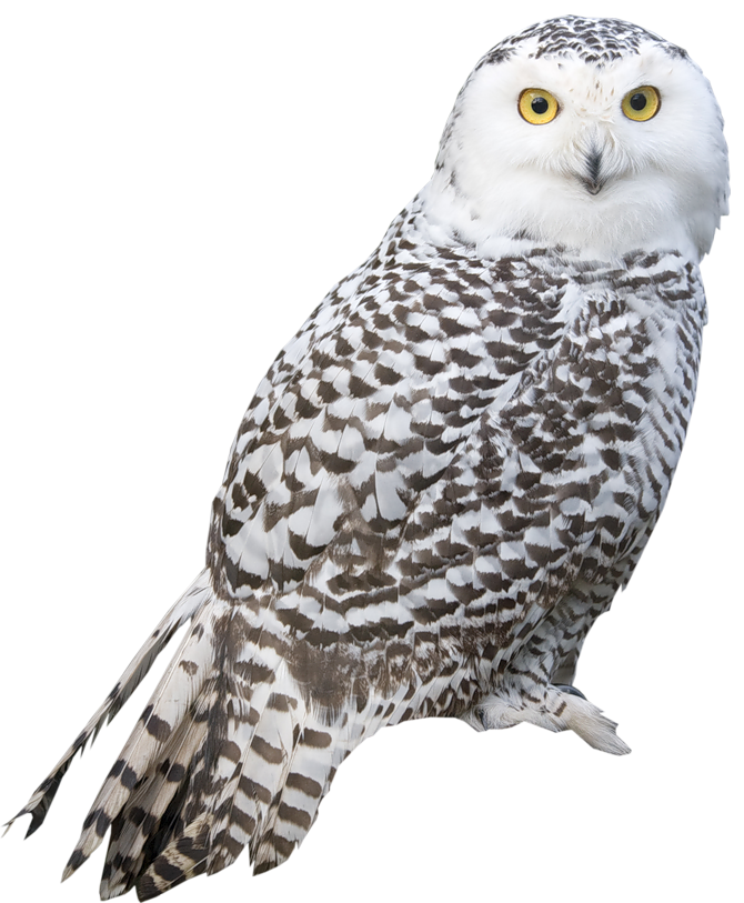 Owl PNG - 15898