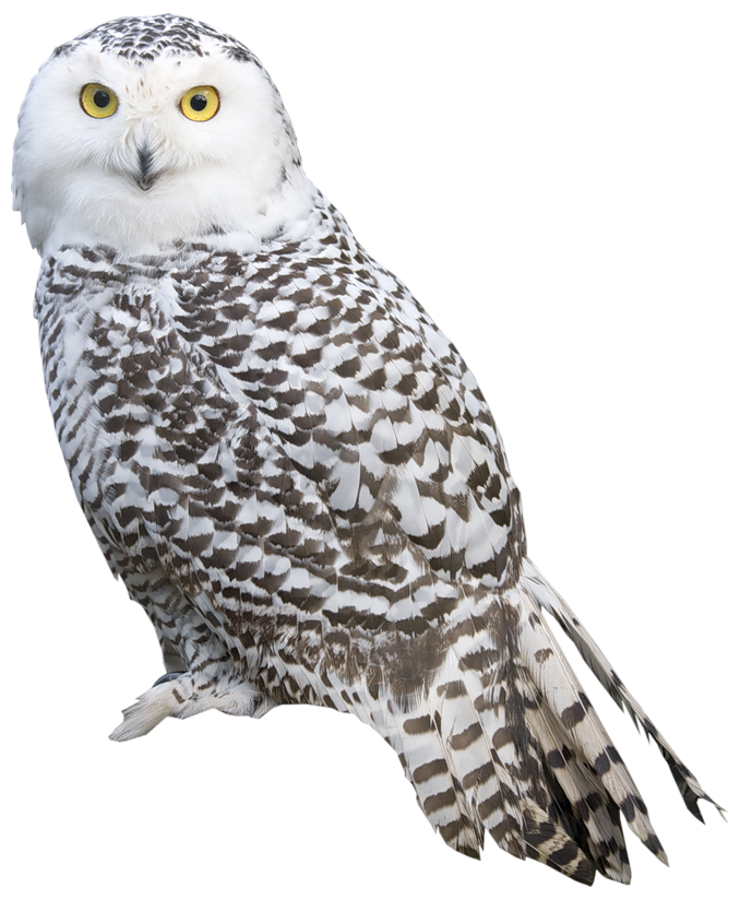 Owl PNG - 15891