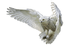 Owl PNG - 15892
