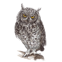 Owl PNG - 15894
