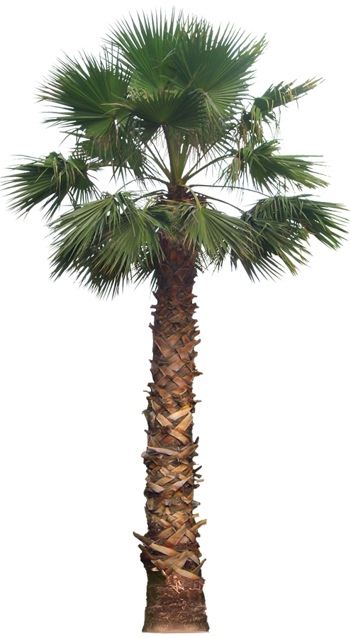 20 Free Tree PNG Images - washingtoniafil02L - Palm Tree PNG