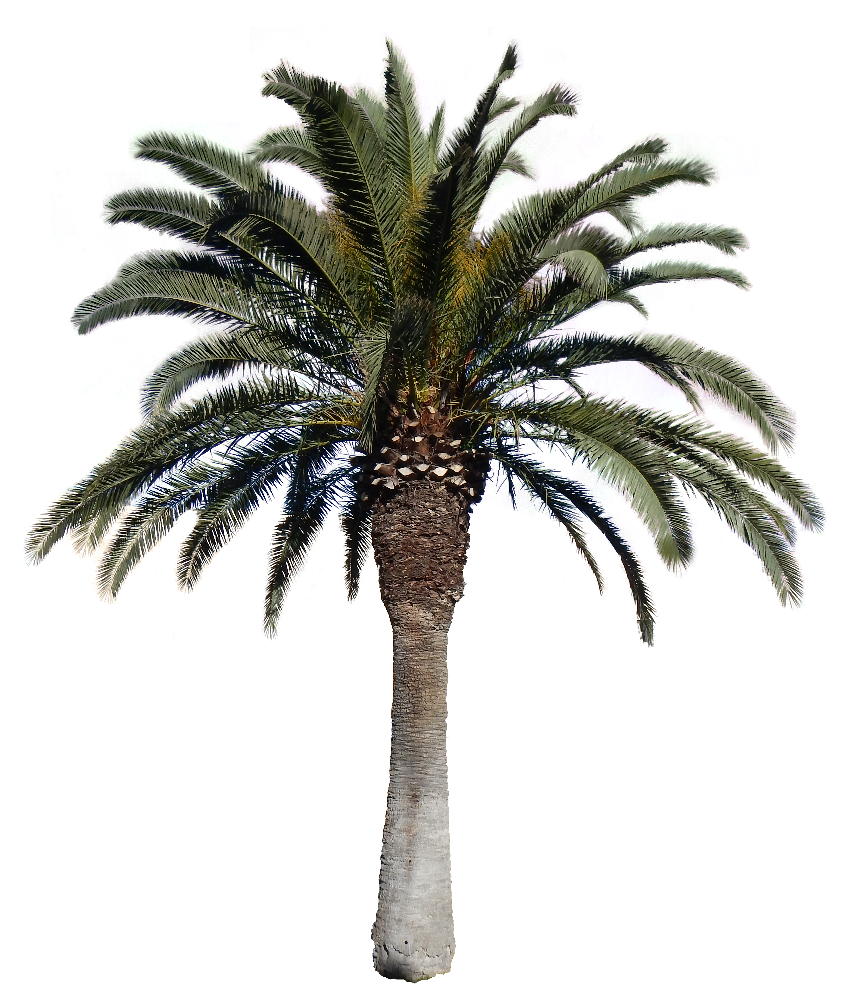 Palm Tree PNG - 10975
