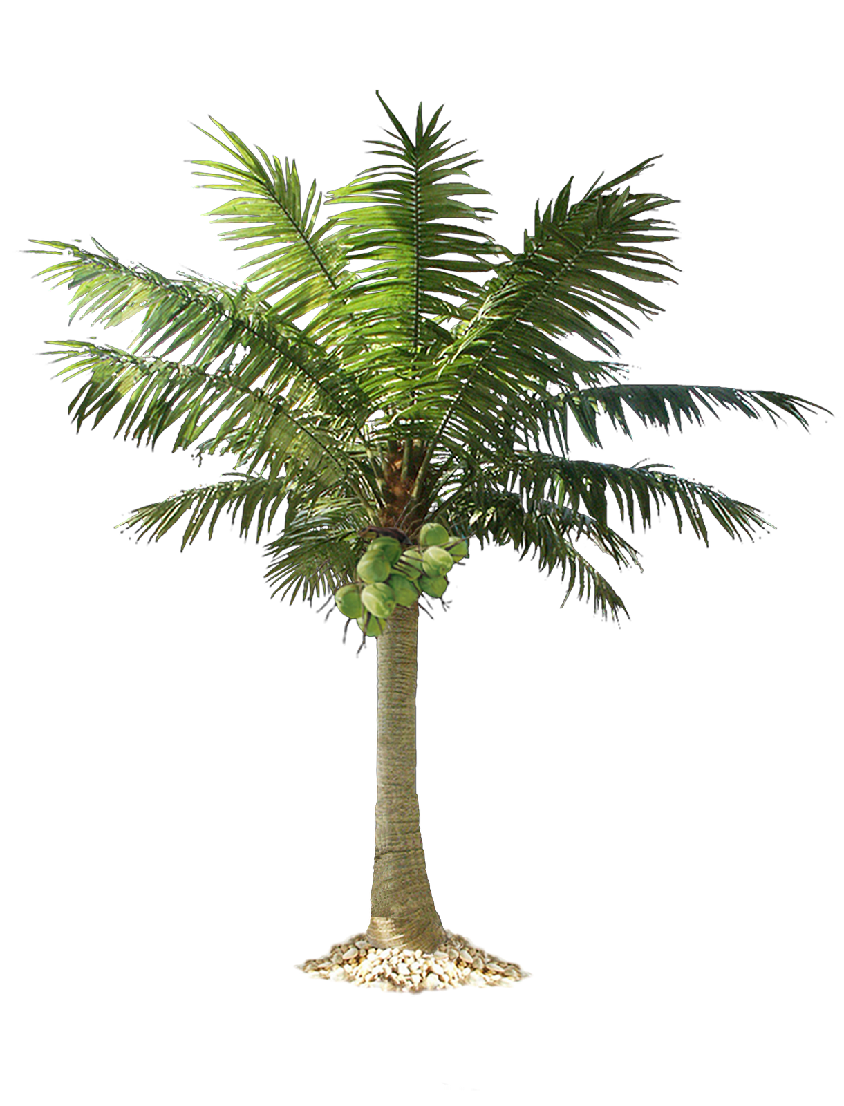 Palm Tree PNG - 10963