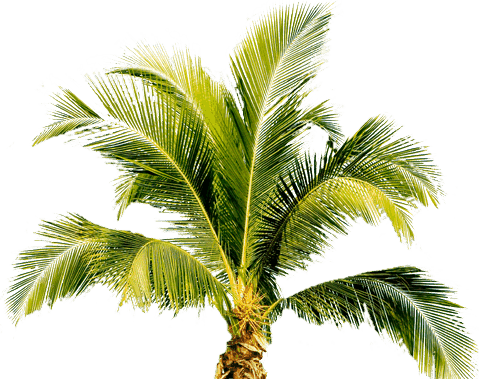Palm Tree PNG - 10977