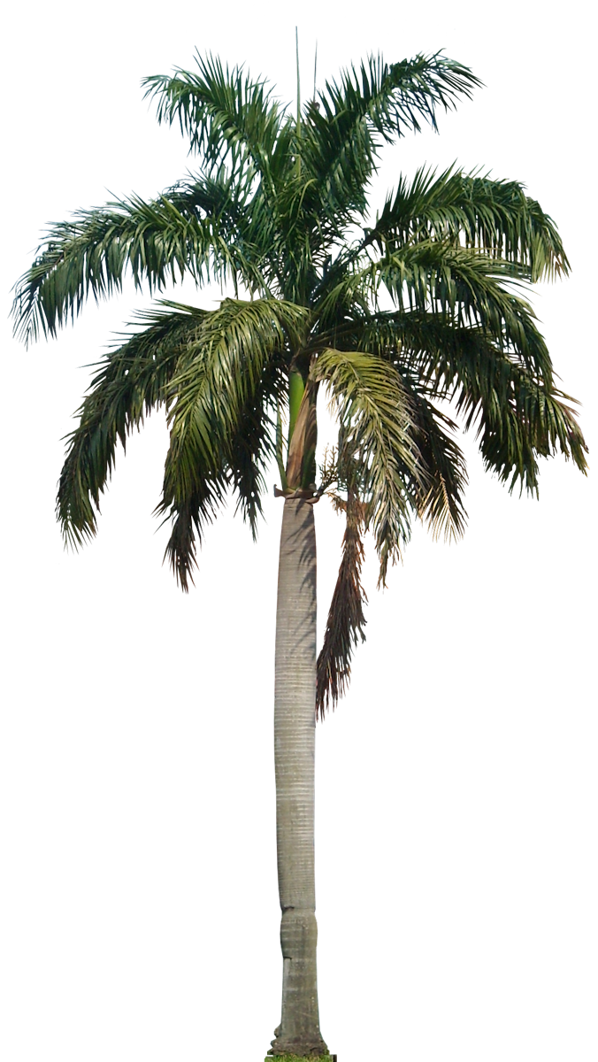 Palm Tree PNG - 10965