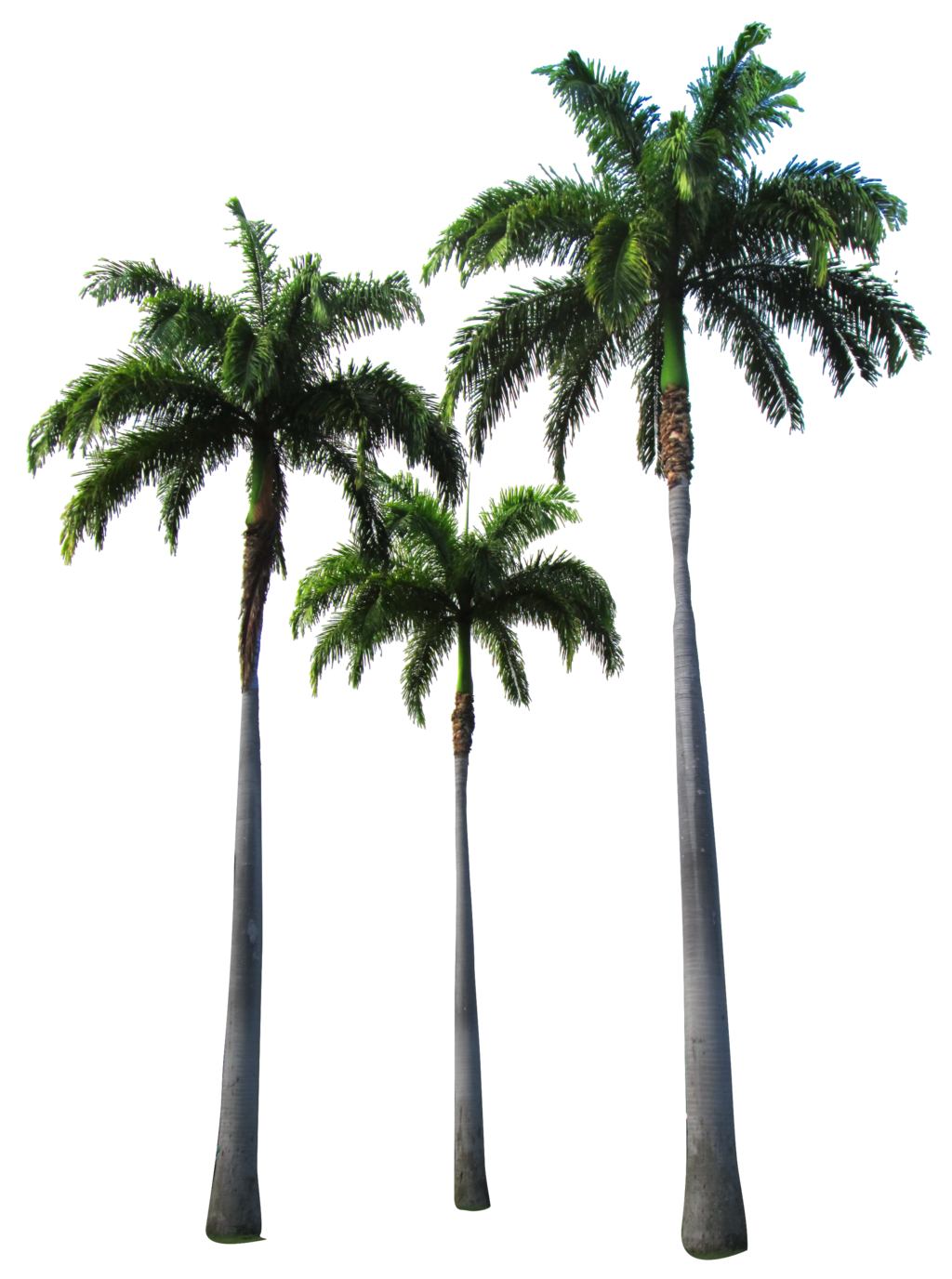Palm Tree PNG - 10968