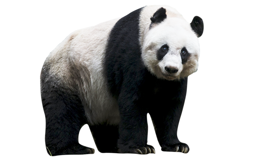 Born - Panda HD PNG