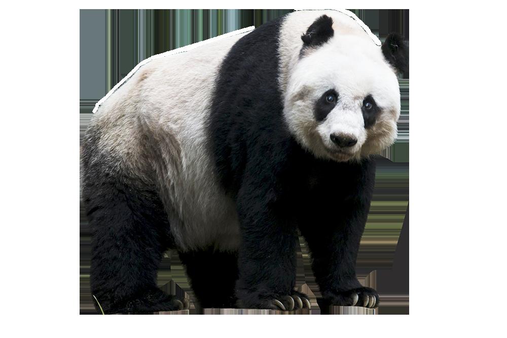 Panda HD PNG - 118915