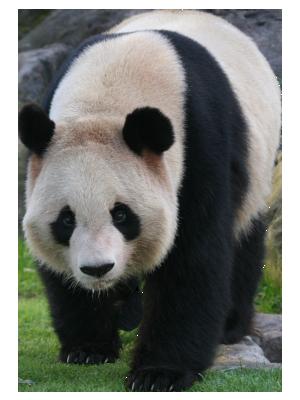 Panda - Panda HD PNG