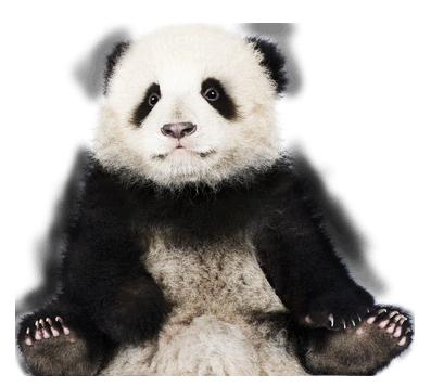 Panda HD PNG - 118911