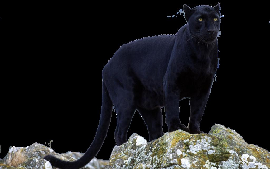 Panther PNG - 8077